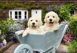 Anatolian Bahçıvan Köpekler / Puppies In A Wheelbarrow 260 Parça 3310