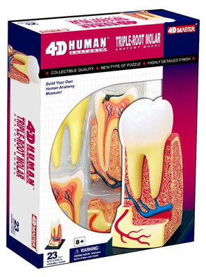 4D Master Insan Anatomisi Puzzle - Üç Köklü Azi Disi Modeli