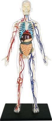4D Master Şeffaf İnsan Vücudu Maketi