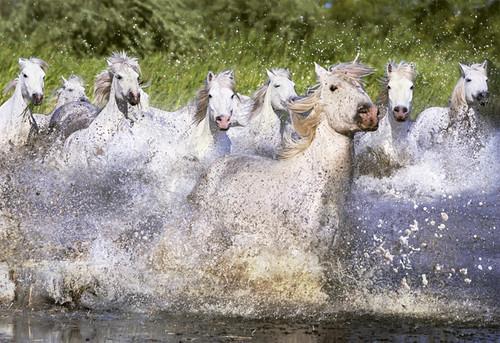 Educa Puzzle White Camargue Horses 1000 Parça 15988