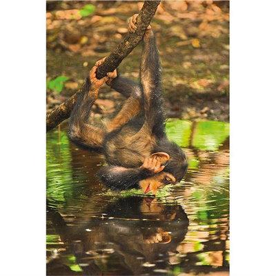 Clementoni 1000 Parça Puzzle Nat Geo - Chimpanzee 39301