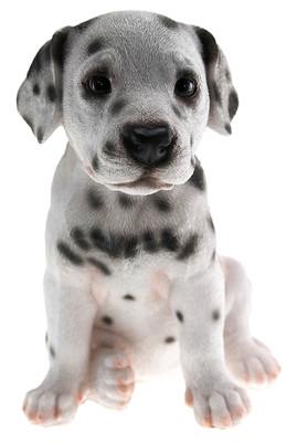 Dalmatian Puppy Biblo Gp-0779
